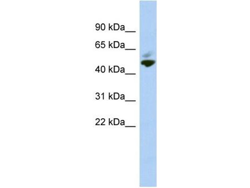 Western Blotting (WB) image for anti-MYC-Associated Zinc Finger Protein (Purine-Binding Transcription Factor) (MAZ) (N-Term) antibody (ABIN2778295)