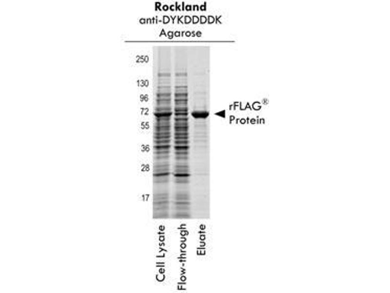 Western Blotting (WB) image for DYKDDDDK Tag peptide (DYKDDDDK Tag) (ABIN1607595)