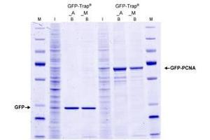 GFP-multiTrap® (2)