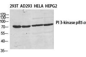 Image no. 2 for anti-Phosphoinositide 3 Kinase, p85 beta (PI3K p85b) (Thr232) antibody (ABIN3186434)