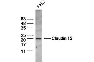 Image no. 1 for anti-Claudin 15 (CLDN15) antibody (ABIN2173123)