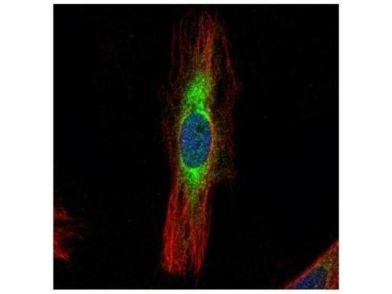 Immunofluorescence (IF) image for anti-Scinderin (SCIN) (Center) antibody (ABIN441714)