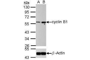 Image no. 2 for anti-Cyclin B1 (CCNB1) (Center) antibody (ABIN2854892)