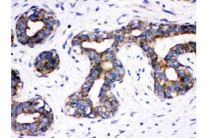 Image no. 3 for anti-Cell Division Cycle 6 Homolog (S. Cerevisiae) (CDC6) (AA 147-549) antibody (ABIN3043500)