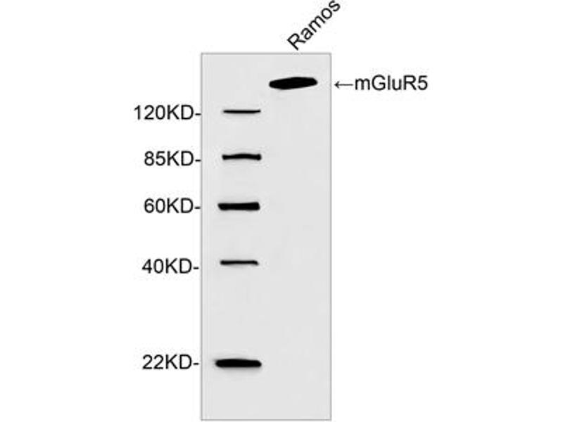 Western Blotting (WB) image for anti-Glutamate Receptor, Metabotropic 5 (GRM5) (C-Term) antibody (ABIN1574147)