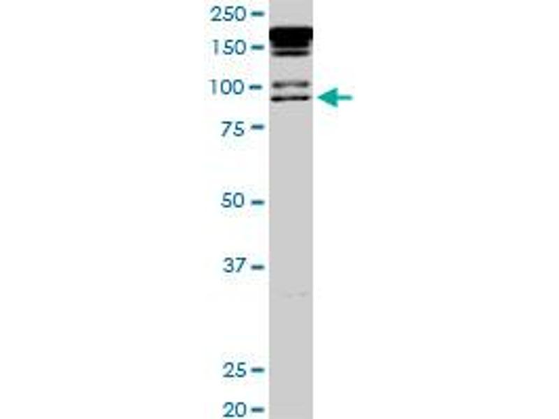 Western Blotting (WB) image for anti-Promyelocytic Leukemia (PML) (AA 411-510), (partial) antibody (ABIN562289)