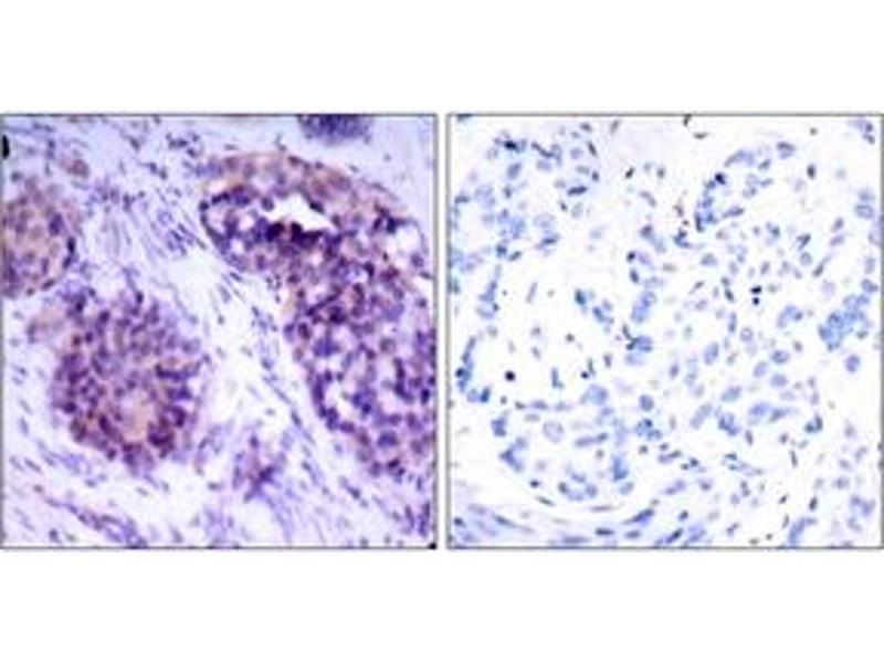 Immunohistochemistry (IHC) image for anti-BCL2-Like 1 (BCL2L1) (AA 28-77) antibody (ABIN1532818)