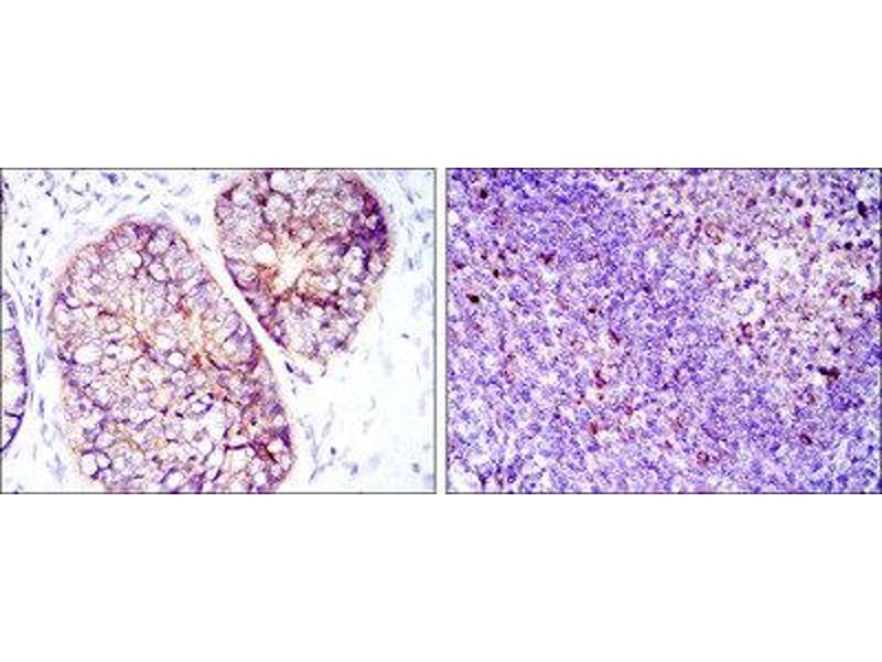 Immunohistochemistry (IHC) image for anti-Eukaryotic Translation Elongation Factor 2 (EEF2) antibody (ABIN1846025)