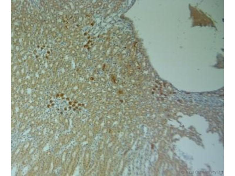 Immunohistochemistry (Paraffin-embedded Sections) (IHC (p)) image for anti-GJA5 Antikörper (Gap Junction Protein, alpha 5, 40kDa) (ABIN4264867)