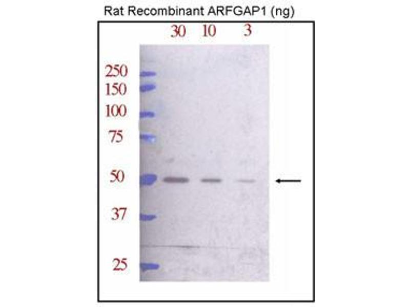 Western Blotting (WB) image for anti-ARFGAP1 antibody (ADP-Ribosylation Factor GTPase Activating Protein 1) (C-Term) (ABIN2159221)