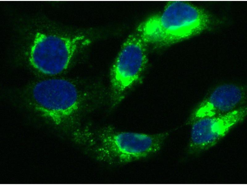 Immunofluorescence (IF) image for anti-alpha-2-HS-Glycoprotein (AHSG) (AA 1-367) antibody (ABIN1996377)