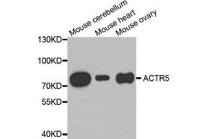 Image no. 1 for anti-ARP5 Actin-Related Protein 5 Homolog (Yeast) (ACTR5) antibody (ABIN1875589)