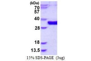 Image no. 1 for Mediator of Cell Motility 1 (MEMO1) protein (His tag) (ABIN1098329)