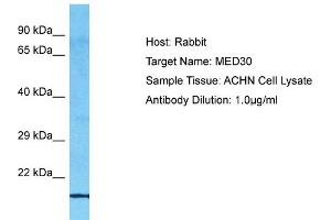 Image no. 1 for anti-Mediator Complex Subunit 30 (MED30) (C-Term) antibody (ABIN2792077)