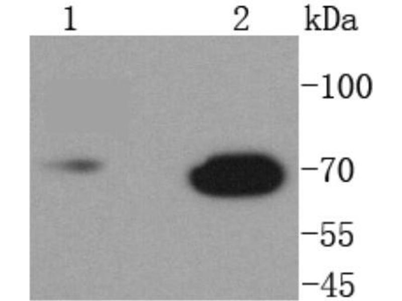 Western Blotting (WB) image for anti-Lamin B1 (LMNB1) (C-Term) antibody (ABIN5946846)