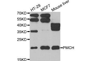 Image no. 1 for anti-Pro-Melanin-Concentrating Hormone (PMCH) antibody (ABIN2564591)