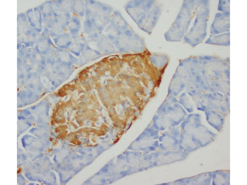 Immunohistochemistry (IHC) image for anti-Insulin (INS) antibody (ABIN3043651)
