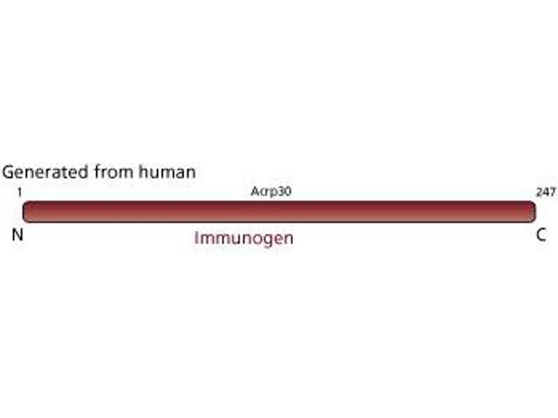 image for anti-Adiponectin  (ADIPOQ ) (AA 1-247) antibody (ABIN968622)