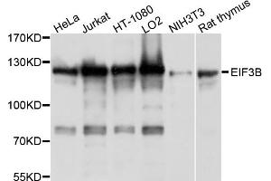 Image no. 1 for anti-Eukaryotic Translation Initiation Factor 3, Subunit B (EIF3B) antibody (ABIN6566838)
