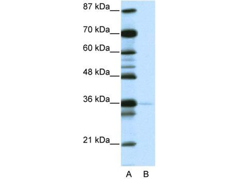 Western Blotting (WB) image for anti-Nanog Homeobox (NANOG) (N-Term) antibody (ABIN184267)