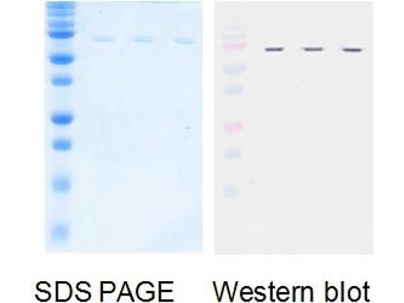 Western Blotting (WB) image for Influenza Nucleoprotein (NP) protein (ABIN3172541)