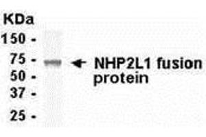 Image no. 1 for anti-NHP2 Non-Histone Chromosome Protein 2-Like 1 (S. Cerevisiae) (NHP2L1) (AA 1-128) antibody (ABIN2468087)