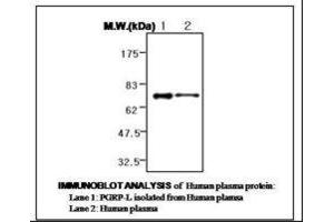 image for anti-Peptidoglycan Recognition Protein 2 (PGLYRP2) antibody (ABIN333120)