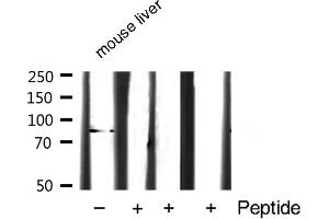 Image no. 3 for anti-Signal Transducer and Activator of Transcription 3 (Acute-Phase Response Factor) (STAT3) antibody (ABIN6265317)
