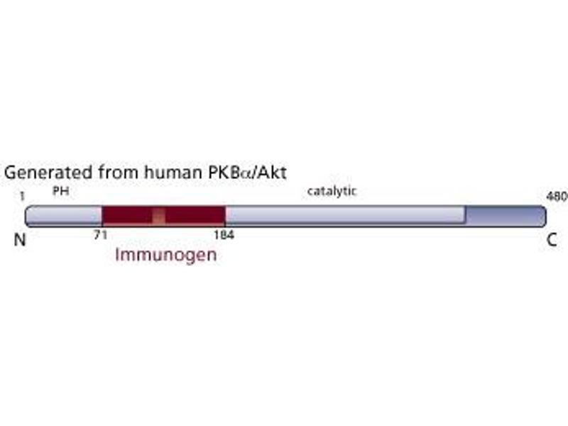 image for anti-V-Akt Murine Thymoma Viral Oncogene Homolog 1 (AKT1) (AA 71-184) antibody (ABIN968206)