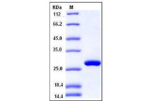 Image no. 1 for Ribulose-5-Phosphate-3-Epimerase (RPE) (AA 1-228) protein (His tag) (ABIN2004934)