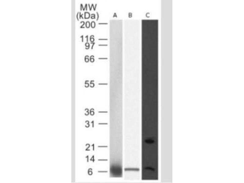 Western Blotting (WB) image for anti-NOXA Antikörper (Phorbol-12-Myristate-13-Acetate-Induced Protein 1) (ABIN269360)