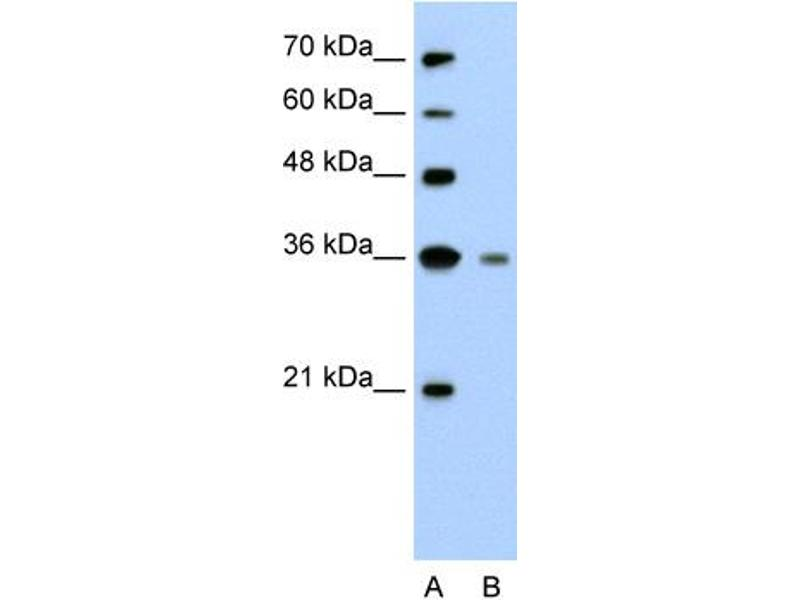 Image no. 1 for anti-Granzyme H (Cathepsin G-Like 2, Protein H-CCPX) (GZMH) (N-Term) antibody (ABIN2775539)