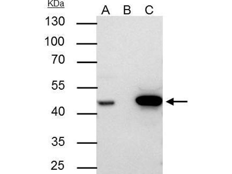 Immunoprecipitation (IP) image for anti-Flap Structure-Specific Endonuclease 1 (FEN1) (Center) antibody (ABIN2855166)