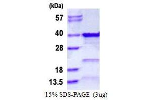 Image no. 1 for General Transcription Factor IIE, Polypeptide 2 (GTF2E2) protein (His tag) (ABIN1098619)