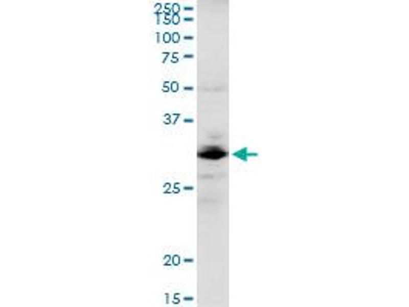 Western Blotting (WB) image for anti-Golgi SNAP Receptor Complex Member 1 (GOSR1) (AA 1-250), (full length) antibody (ABIN523006)