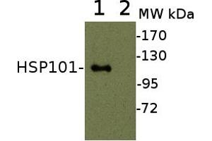 Image no. 1 for anti-Heat-Shock Protein 101 (HSP101) (N-Term) antibody (ABIN3155733)
