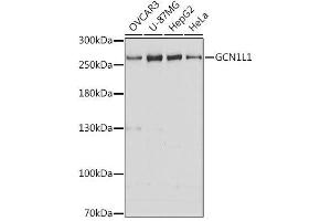 Image no. 1 for anti-GCN1 General Control of Amino-Acid Synthesis 1-Like 1 (Yeast) (GCN1L1) antibody (ABIN6141024)