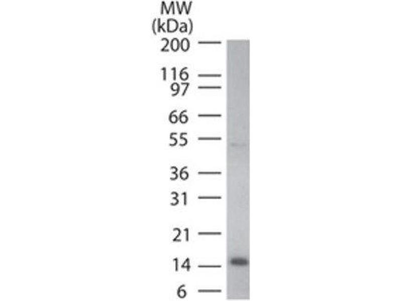 Western Blotting (WB) image for anti-Cytochrome C antibody (Cytochrome C, Somatic) (ABIN252468)