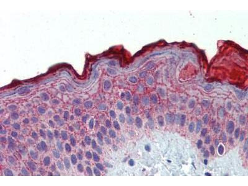 Image no. 1 for anti-Akirin 2 (AKIRIN2) (Internal Region) antibody (ABIN462515)