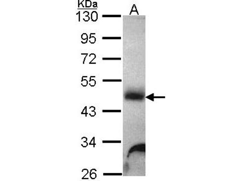 Western Blotting (WB) image for anti-Galactosidase, alpha (GLA) (AA 1-289) antibody (ABIN551188)