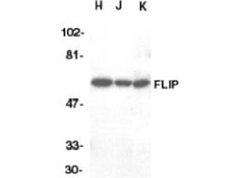 image for anti-CFLAR antibody (CASP8 and FADD-Like Apoptosis Regulator) (ABIN401040)