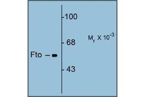 Image no. 1 for anti-Fat Mass and Obesity-Associated (FTO) (N-Term) antibody (ABIN782440)