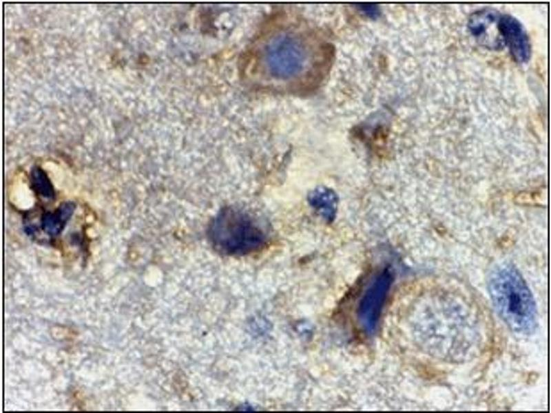 Immunohistochemistry (Paraffin-embedded Sections) (IHC (p)) image for anti-RHEB antibody (Ras Homolog Enriched in Brain) (Center) (ABIN500597)