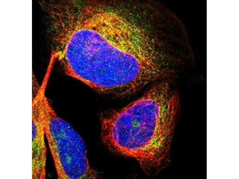 Immunofluorescence (IF) image for anti-CDK5 Regulatory Subunit Associated Protein 3 (CDK5RAP3) antibody (ABIN4297064)