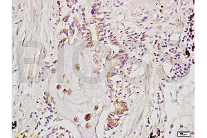 Image no. 1 for anti-rho GTPase Activating Protein 24 (ARHGAP24) (AA 630-680) antibody (ABIN714716)