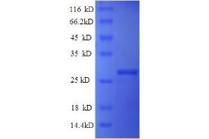 Image no. 1 for Interferon, alpha-Inducible Protein 6 (IFI6) (AA 24-130) protein (His tag) (ABIN5713526)