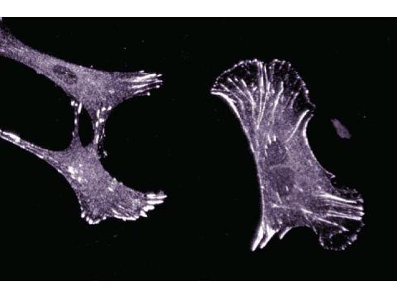 Immunofluorescence (IF) image for anti-Zyxin (ZYX) (AA 277-447) antibody (ABIN968016)