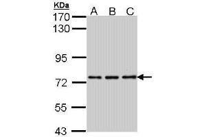 Image no. 3 for anti-Neuronal PAS Domain Protein 2 (NPAS2) (C-Term) antibody (ABIN2856176)