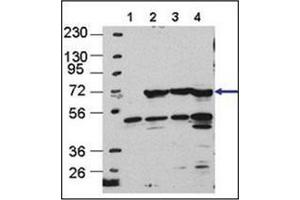 anti-ATG16 Autophagy Related 16-Like 1 (S. Cerevisiae) (ATG16L1) (AA 84-114) antibody (3)