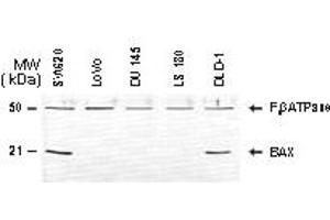 image for anti-BAX antibody (BCL2-Associated X Protein) (AA 43-61) (ABIN957152)